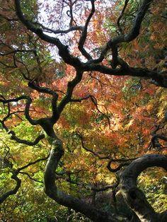 Photo by Taryn Koerker  Japanese Maple in Seattle's Japanese Garden in fall
