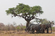 Elephants and Acacia Tree