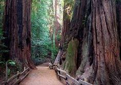 If you've never been to Muir Woods in northern California....oh! You HAVE to go at least once. We used to go all the time and we just love it!