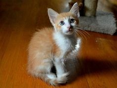 Finn is an adoptable Domestic Short Hair Cat in Charlotte, NC. I'm an adorable, friendly, playful boy ready for a permanent home! I love my brother Fred (A1056473) and get along well with other kitten...