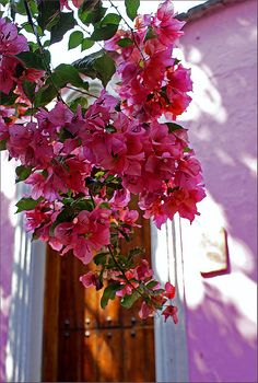 bougainvillea - my favorite flowers trinitarias
