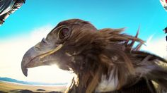 Golden eagle wearing a GoPro camera captures a stunning POV video while flying over mountains in Mongolia