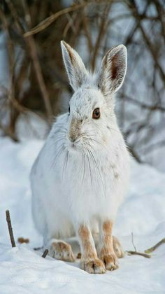 Snowshoe hare in the snow.