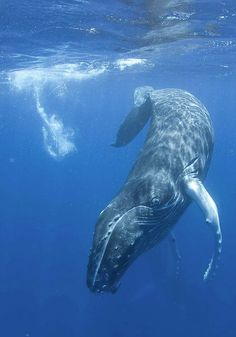 Paddle or swim with whales on Maui