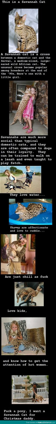 I want a savannah cat and I want it now