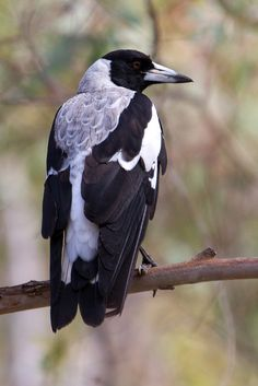 The magpie is considered one of the most intelligent animals in the world and one of the only birds that can recognize itself in a mirror. Pretty Birds, Beautiful Birds, Animals Beautiful, Outback Australia, Billabong, Bird Wings, Rabe, Australian Animals, Colorful Birds