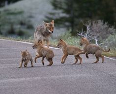 Coyote pups play in Yellowstone National Park – Image by Dr. Joseph T. McGinn -- What a grand nature safari this national park is