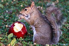 Apple-lisciuos'  #500px #photography #nature #squirrel