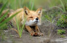 Fox just waking up!