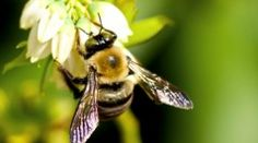 Central Texas Bee Rescue and Honey Co-op. The #1 alternative to bee extermination!http://honeybeekind.com/battle-for-survival/