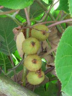 Kiwi züchten und anbauen | Pflanzen im Gewächshaus, im Garten und auf dem Balkon
