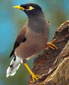 "COMMON MYNA (invasive) — You see these birds everywhere, with their raucous cawing. We call them ""funny walkers"" because of their awkward gait on land. They are an introduced exotic that has become problematic in Hawaiʻi as elsewhere."