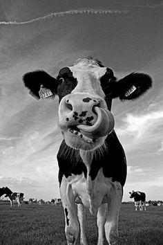 Kunstwerk: 'Koe' van Mieke Korsten Holstein Cows, Cow Painting, Agriculture Farming, Ranch Life, Mini Paintings, Rind, Guinea Pigs, Calming, Farm Animals