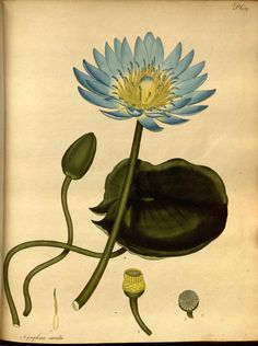 Nymphaea coerulea. The botanist's repository v.3 London :The author,1797-[1811?] Biodiversitylibrary. Biodivlibrary. BHL. Biodiversity Heritage Library