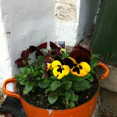 Old pots as flower pots. These pansies love their Le Crusiet home