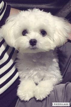 Maltese- Be still my heart, he/she is super adorable.