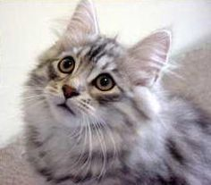 Siberian Forest cat. What I'd get if I didn't have a Norwegian one, LOL