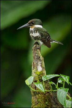 Green Kingfisher (Chloroceryle americana) female perched over the water at the low lands of Costa Rica, Guapiles, Cope Wildlife, by Chris Jimenez Kinds Of Birds, All Birds, Cute Birds, Pretty Birds, Little Birds, Birds Of Prey, Beautiful Birds, Animals Beautiful, Parus Major