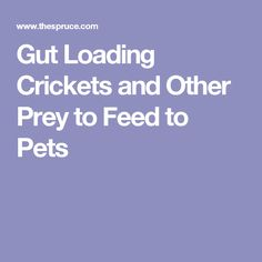 Gut Loading Crickets and Other Prey to Feed to Pets