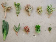 - Learn about how to dry out your cactus or succulent plant clippings before putting them in soil with tips from an expert in this gardening video...