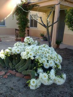 Cactus in fiore. Growing Succulents, Cacti And Succulents, Planting Succulents, Planting Flowers, Cactus Planta, Cactus Y Suculentas, Exotic Flowers, Amazing Flowers, Drought Resistant Plants