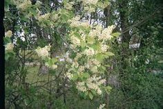 Image result for Prunus padus