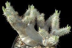 Immagine ridimensionata [Pachypodium densiflorum v. Planting Succulents, Succulent Plants, Cacti, Photo Wall, Gardens, Madagascar, Cactus Plants, Fotografie, Garden