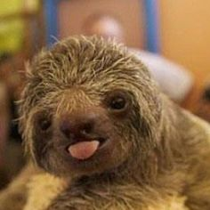 The baby sloth is killing me with its cuteness!!