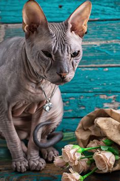 serious cat breed Sphynx par Mykola Lunov on 500px