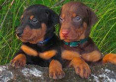 Filhotes de cachorros 10