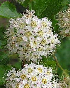 Native Trees of Indiana River Walk- dotted hawthorn