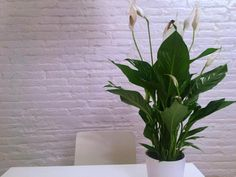 feng shui indoor plants - peace lily