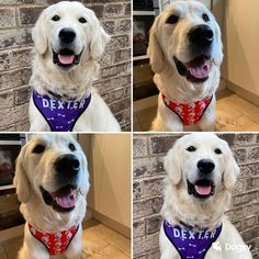 I think someone is over the moon with their new harness! Look at that smile! 😃 Over The Moon, Labrador Retriever, Fans, Smile, Animals, Labrador Retrievers, Animais, Animales, Animaux