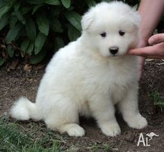 simoid dogs | Bulky Samoyed Puppies Ready To Go Home Now in BRISBANE, Queensland ...