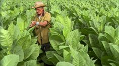 man-smoking-cigar-and-examining-tobacco-leaves-in-field-san-luis-del-video-id101594683 (640×360)