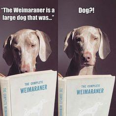 1000+ images about Weimaraners on Pinterest | Weimaraner, William ...
