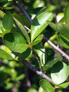 アロニアの葉っぱはこのような感じですの。 2012年5月26日撮影