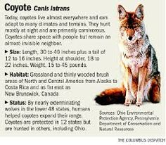 Image result for coyote art