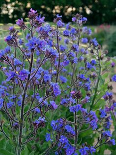 Intense blue spikes to 4' in May. Anchusa flowers
