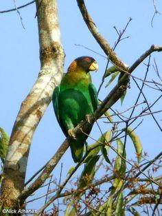 Caica Parrot - Pyrilia caica