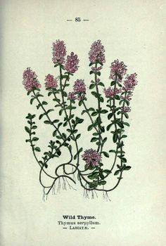 Thymus serpyllum - Wild Thyme/Creeping Thyme Wayside and Woodland Blossoms, a Pocket Guide to British Wild-Flowers for the Country Rambler.