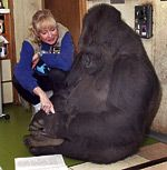 Teaching Koko Sign Language: Koko the gorilla learns to sign with the help of alumna Penny Patterson @kokotweets