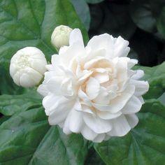 Jasmine 'Grand Duke of Tuscany' (Jasminum sambac) - Tropical Plants for Indoor Containers - Indoor