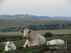 Cow Farm Ab - photograph by Dan Marinescu fineartamerica.com #cows #farming #countrylife #fortress