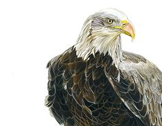 """Check out new work on my @Behance portfolio: """"Bald Eagle"""" http://be.net/gallery/37479211/Bald-Eagle"""