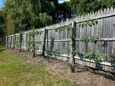 Espaliered Fruit Trees (Pear and Apple) Year 2 via Italian Gardening