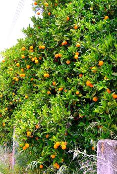 Appelsiinisato on Kreetalla makeimmillaan  huhti-toukokuussa.  #Aurinkomatkat #Aurinkomatkalla #Aurinkojahti #kreeta #appelsiinipuu Plants, Instagram, Plant, Planets