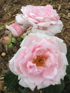 'La Nina' | Hybrid Tea Rose. Meilland 2004