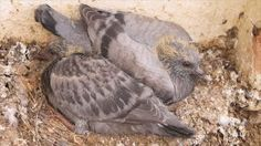 Image result for baby wood pigeon
