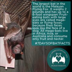 #BatFact #SAVETHEBATS #7DaysOfBatFacts #FlyingFox #Facts #Bats #Size Bat Conservation International, Bat Facts, Fruit Bat, Cute Bat, Creatures Of The Night, Large Eyes, Spirit Guides, Homeschooling Resources, Animal Care